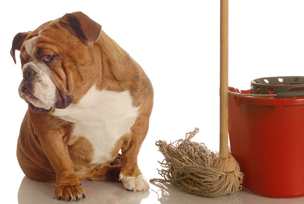 bigstock-Bulldog-With-Mop-And-Bucket-3852946