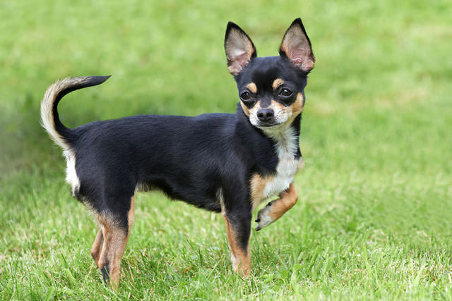 21 Things You Did Not Know About Chihuahuas Dog Show