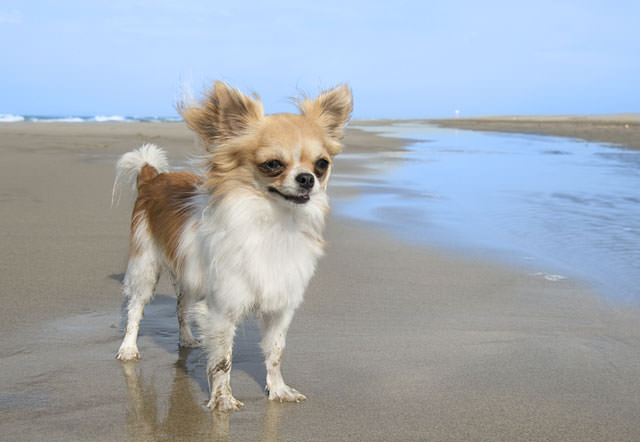 bigstock-Chihuahua-On-The-Beach-47225551