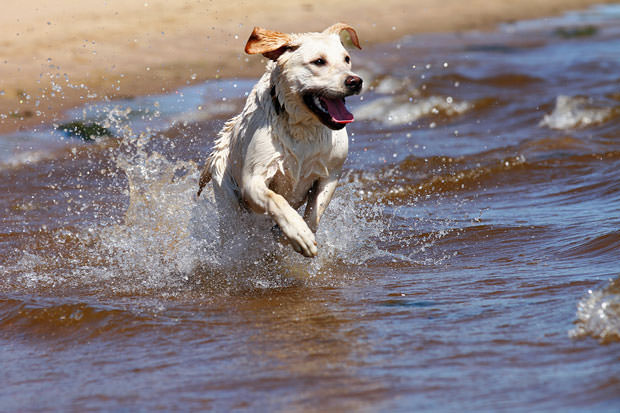 bigstock-Labrador-Retriever-Running-And-31329497