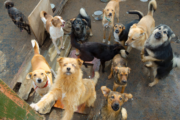bigstock-A-lot-of-stray-dogs-in-the-she-33257363