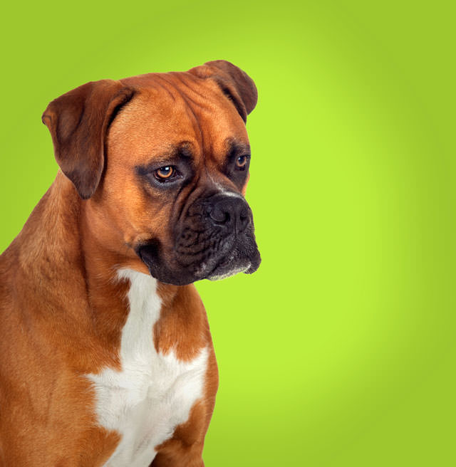 bigstock-Adorable-boxer-dog-in-profile--45868507