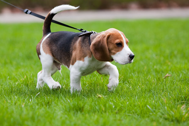 bigstock-Beagle-Dog-On-The-Scent-7421018