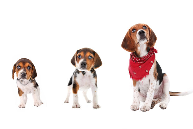 bigstock-Beagle-Puppy-Growth-Stages-4211424