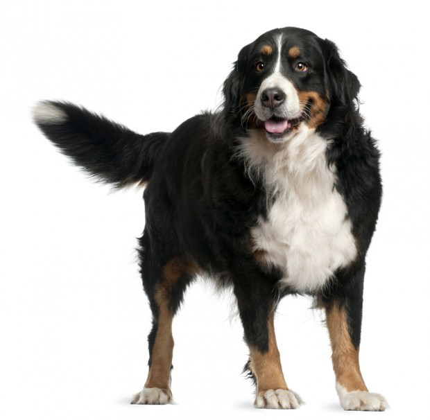 bigstock-Bernese-Mountain-Dog--Years--10494515
