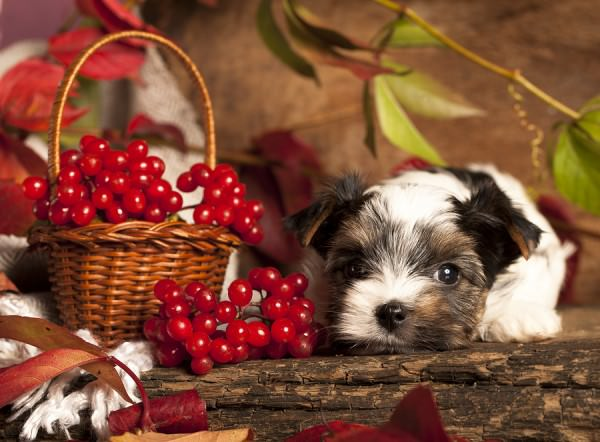 bigstock-Biewer-terrier-puppy-38613592