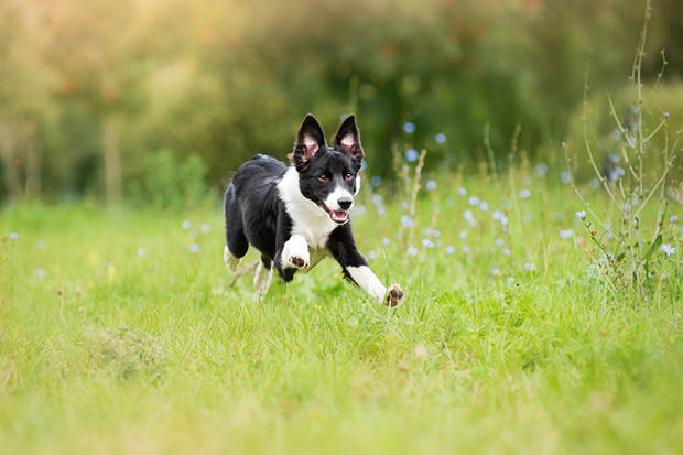 bigstock-Border-Collie-Puppy-Running-Th-43510888