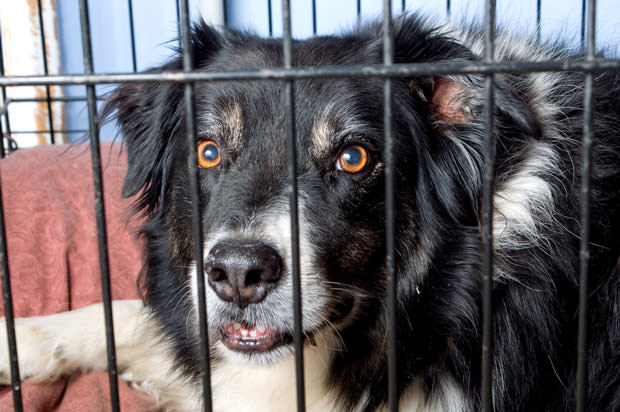 bigstock-Caged-Border-Collie-3163850