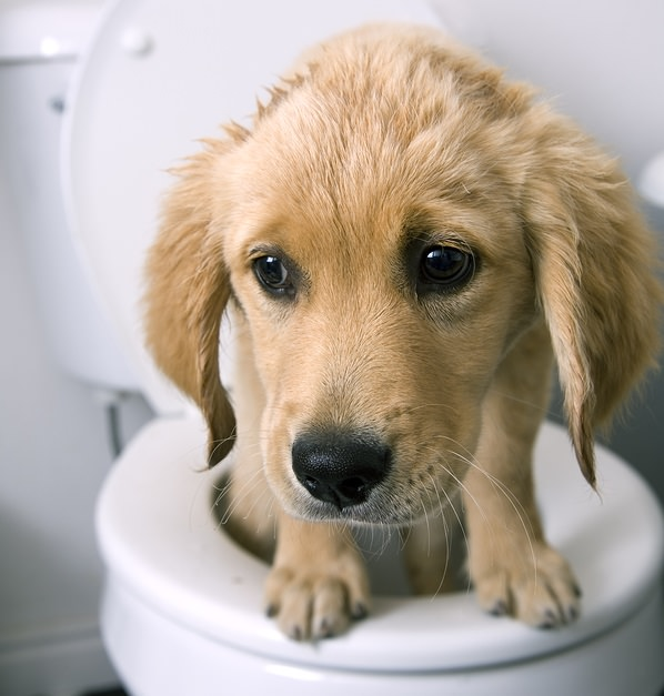 bigstock-Dog-On-Toilet-4864197