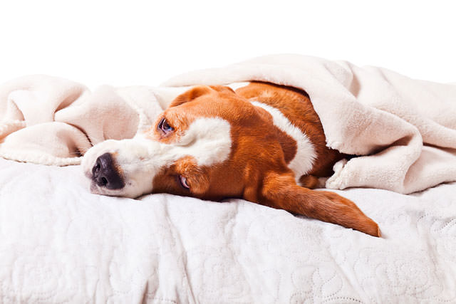 bigstock-Dog-Under-A-Blanket-On-White-54636305