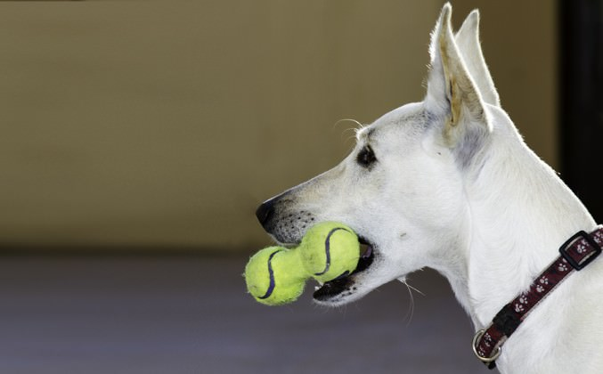 bigstock-Dog-With-A-Toy-Of-Tennis-Balls-40274950