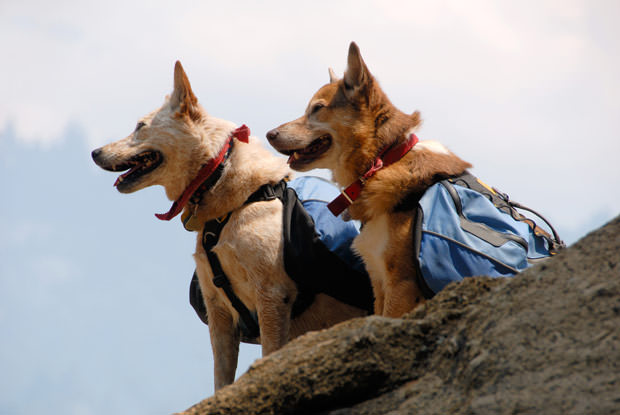 bigstock-Dogs-With-Backpacks-5916539