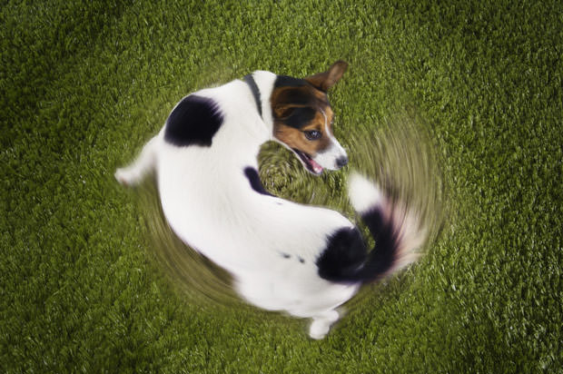 bigstock-Elevated-view-of-Jack-Russell--48026468