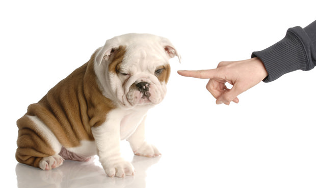 bigstock-Finger-Wagging-At-Bad-Bulldog-6630400