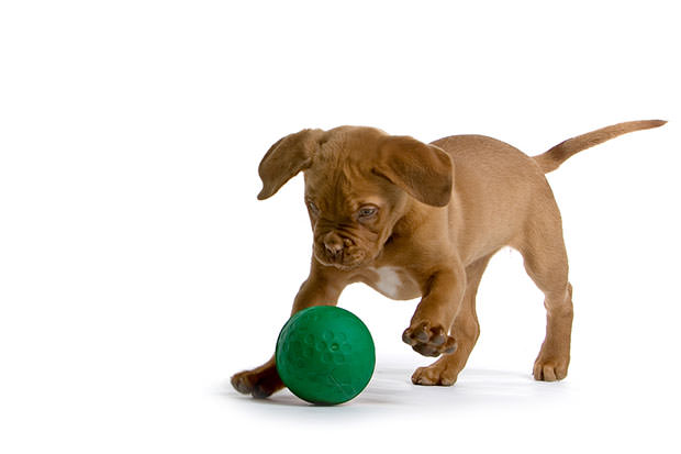 bigstock-French-Mastiff-Dog--Bordeaux--7126834