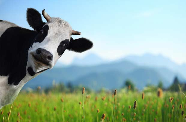 bigstock-Funny-cow-on-a-green-meadow-lo-49279556