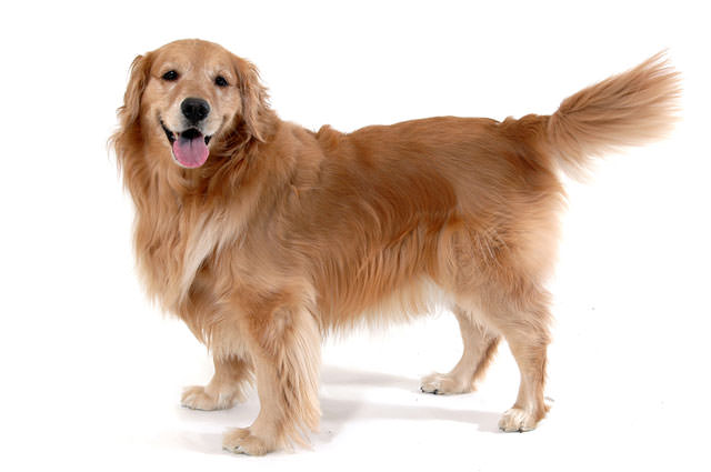 bigstock-Golden-Retriever-Standing-1449471