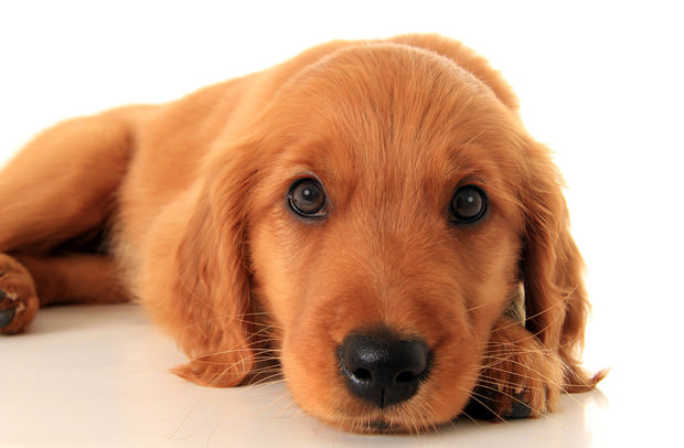 bigstock-Golden-retriever-puppy--46350430