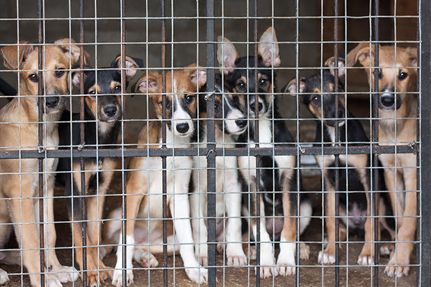 bigstock-Many-Puppies-Locked-In-The-Cag-22382696