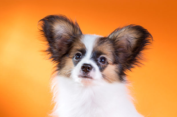 bigstock-Portrait-Of-A-Cute-Puppy-Papil-56563631
