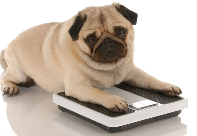 bigstock-Pug-Laying-On-Weigh-Scales-5984636