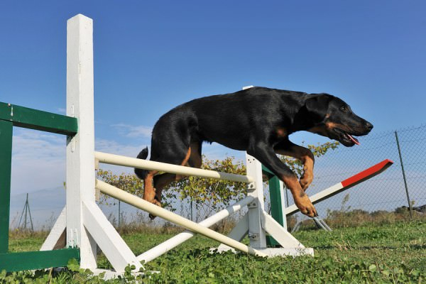 bigstock-Puppy-Beauceron-In-Agility-9793157