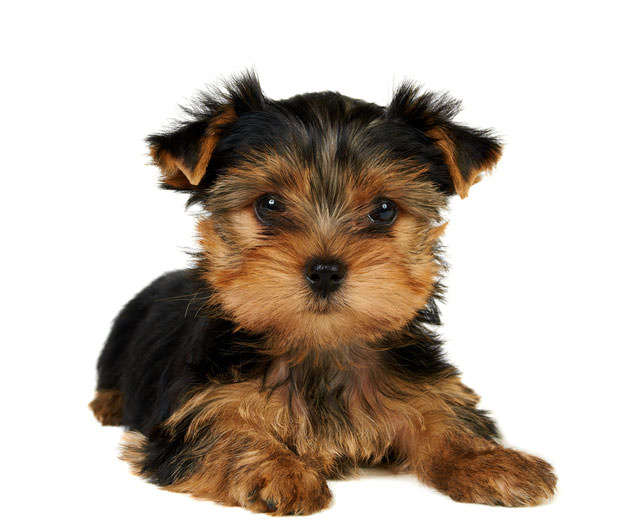 bigstock-Puppy-Of-The-Yorkshire-Terrier-27928802