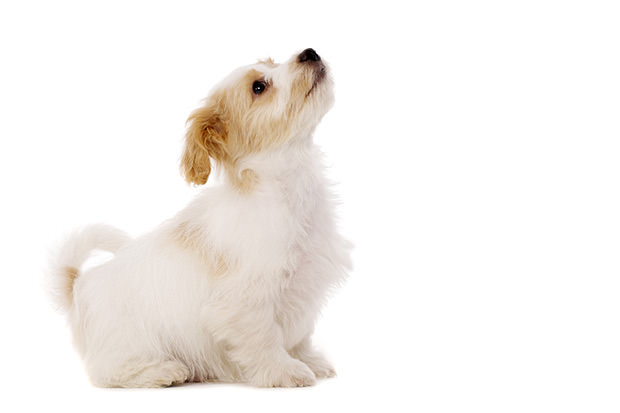 bigstock-Puppy-Sat-Looking-Up-Isolated--41493568