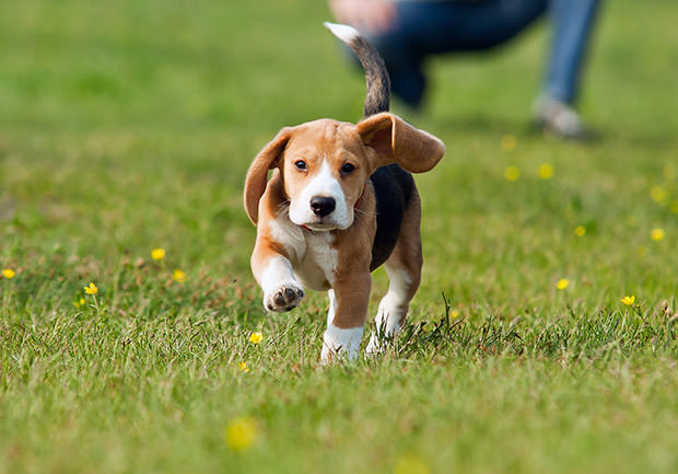 bigstock-Running-Beagle-Puppy-At-The-Wa-44668411