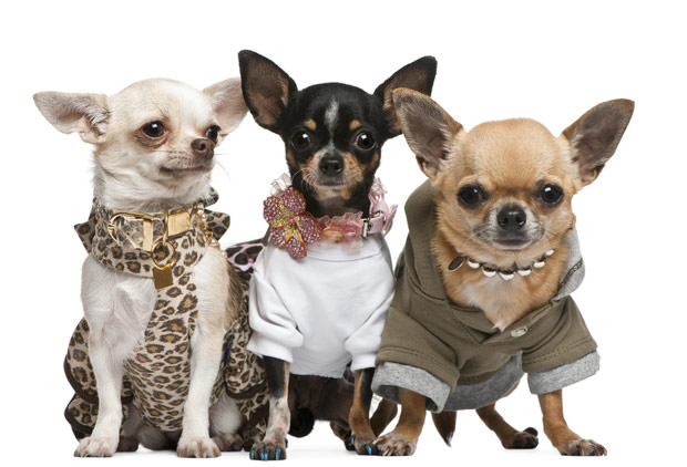 bigstock-Three-Chihuahuas--Years-Old--10205843