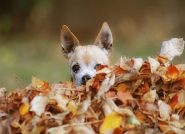 bigstock-a-cute-chihuahua-in-a-pile-of--54875342