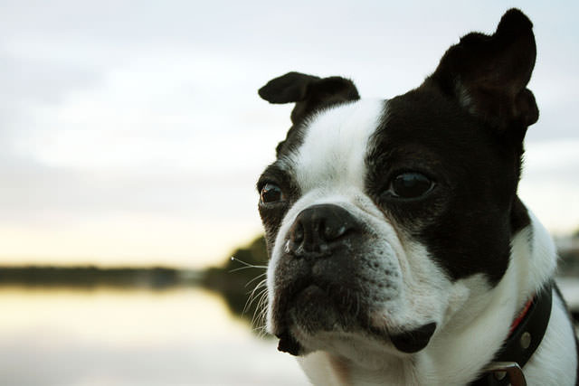 bigstock-boston-terrier-28722581