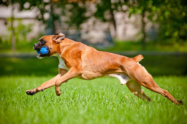 bigstock-german-boxer-dog-running-with--47973809