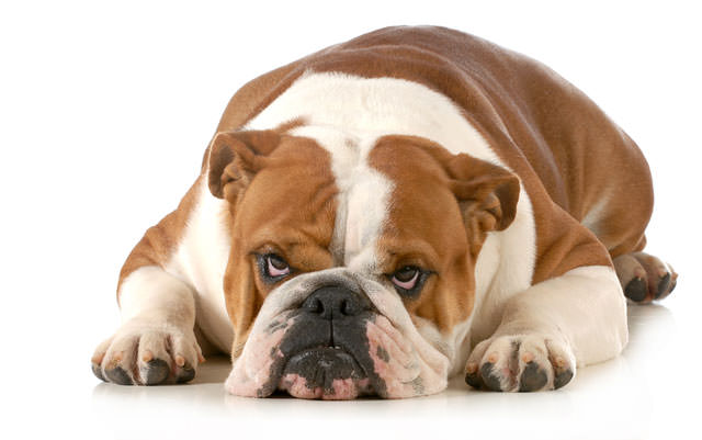 bigstock-mad-dog--english-bulldog-layi-46542694