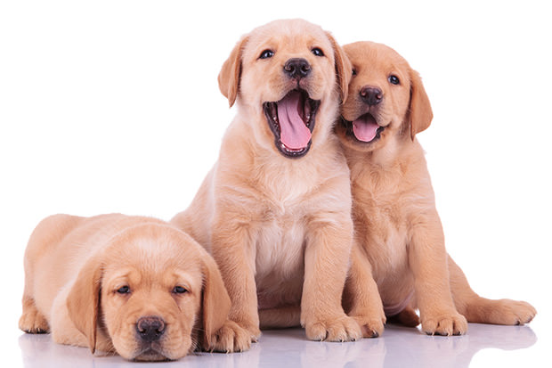 bigstock-three-labrador-retriever-puppy-40873723