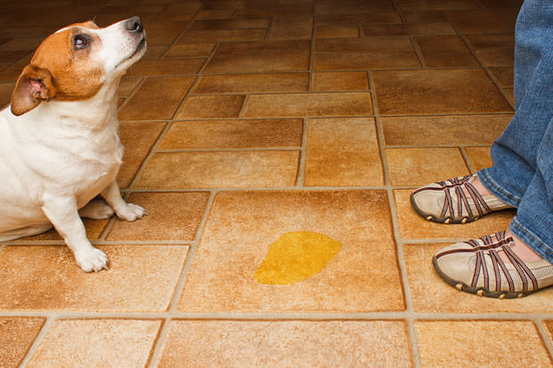bigstock-Dog-Pee-Scold-Front-24078800
