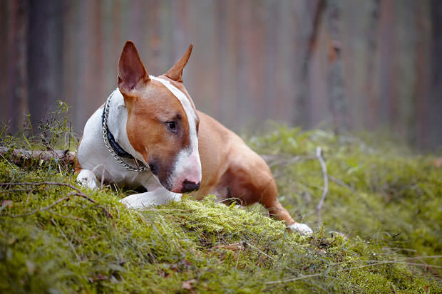 bigstock-Bull-Terrier-Lies-In-The-Wood-50302592