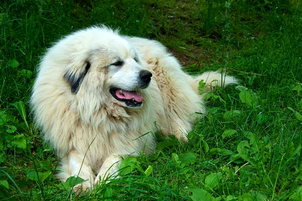 bigstock-Great-Pyrenees-Dog-20082533