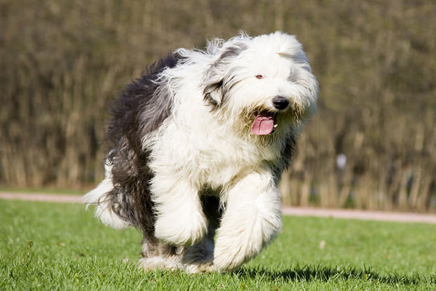 bigstock-Old-English-Sheepdog-5448341