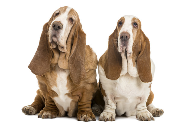 bigstock-Two-Basset-Hounds-sitting-iso-44782834